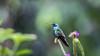 097.5 Goulds Violetoorkolibrie-20171109-J1711-64930 (dirkvanmourik) Tags: aves birdsofperu bosquenublado carreteraamanu colibricoruscans colibrírutilante gouldsvioletoorkolibrie nevelwoud peru2017 reisdagcuscomanu sanpedrolodge sparklingvioletear vogel