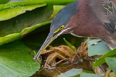 D1802031198c-WM.jpg (Louis Curtis) Tags: bird butoridesvirescens greenheron wadingbird unitedstates delraybeach wakodahatcheewetlands florida