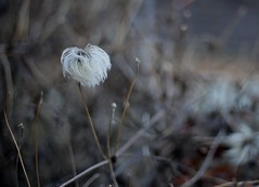 In the Bleak Midwinter (janroles) Tags: hedge winter nature serene white plant seed oldmansbeard wildclematis seedhead canoneos6d closeup dof bokeh flower outdoor light flickr depthoffield january