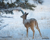Who Threw That? (kevin-palmer) Tags: devilstower devilstowernationalmonument wyoming january winter cold snow snowy nikond750 nikon180mmf28 telephoto deer animal wildlife morning