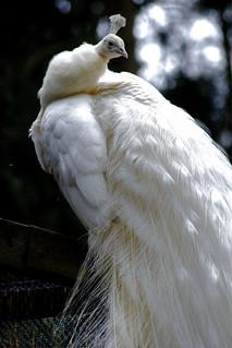 Weißer Pfau - White Peacock