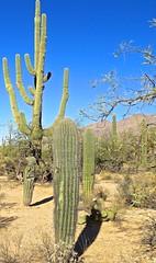 Majestic Saguaro Is Older Than The United States Of America (Chic Bee) Tags: trail saguaro sketch artist saraiyakanning nedharris sabinocanyon sabinocanyonvolunteernaturalists guides naturewalk 20180131 tucson arizona southwesternusa americansouthwest america nature walking