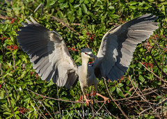 Black-Crowned Night-Heron (DonMiller_ToGo) Tags: wildlife venicerookery heron nature onawalk birds outdoors birdwatching nightheron d810 rookery florida