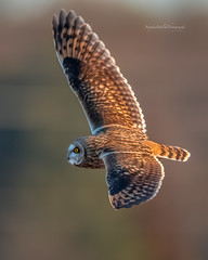 Short Eared Owl, (stephenwalshphoto) Tags:
