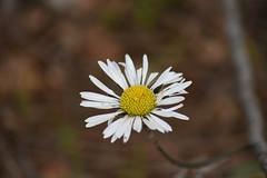 Bellis sylvestris (esta_ahi) Tags: ordal belloritas bellis sylvestris bellissylvestris compositae asteraceae flor flora flores silvestres subirats penedès barcelona spain españa испания