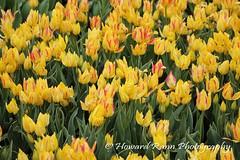 Longwood Gardens Spring 2017 (37) (Framemaker 2014) Tags: longwood gardens kennett square pennsylvania tulips united states america