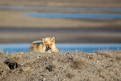 At Rest (Dan King Alaskan Photography) Tags: redfox fox vulpesvulpes prudhoebay alaska den sagavanirktokriver sagriver canon50d sigma80400mm