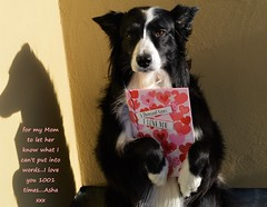 to say what I can't put into words (ASHA THE BORDER COLLiE) Tags: border colling holding valentine card love ashathestarofcountydown