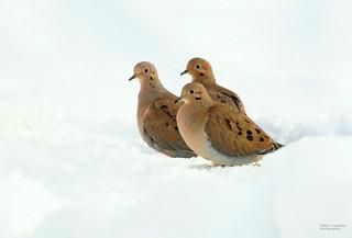 Tourterelles tristes - Mourning Dove