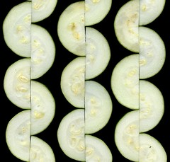58720.01 Cucurbita pepo var. cylindrica (horticultural art) Tags: horticulturalart cucurbitapepovarcylindrica cucurbitapepo zucchini squiggles food vegetable