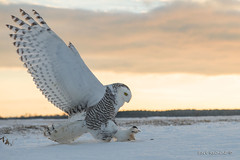 Snowy at golden hour (Earl Reinink) Tags: twilight sunset goldenhour sunrise winter snow cold bird animal raptor predator wings eyes earl reinink earlreinink owl wideangle snowyowl claws sky heeaedadza