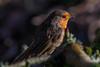 090.jpg (Kico Lopez) Tags: miño lugo aves galicia birds spain petirrojo erithacusrubecula rio