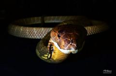 MalKingCloseHeadon (TRAdamson Photography) Tags: reptiles reptilephotography snake snakes herpetology herps biology reptile beautiful cobra mamba elapidae elapids elapid neurotoxic venomous venom exotic
