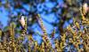 Red-whiskered Bulbul Los Angeles Arboretum Southern California 111 (pekabo90401) Tags: redwhiskeredbulbul bulbul losangelesarboretum arboretum introducedbird nonnativewildlife canon camaraderie 80d canon80d 100400 friendship pekabo90401 wesen treemonkey birdwatching birdwatchinglosangeles southerncaliforniabirds lightroom lind chim oiseau vogel pycnonotusjocosus turahapiglipitta sipahibulbul pharibulbulkanerabulbu ibon fugl πουλί 새 پرنده avem manu птица นก