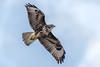 Buzzard (Unintended_Keith) Tags: buzzard birdinflight bird birdofprey nature wildlife canon1dx sigma150600mms wokingham berkshire