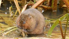 Water vole (PhotoLoonie) Tags: watervole mammal wildlife nature vole canal rodent wildanimal animal video nottinghamcanal cossall nikon february2018