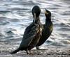 Cormorants (stuartcroy) Tags: orkney island cormorant beautiful bird water scotland sea sony