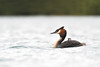 Great Crested Grebe (adbecks) Tags: great crested grebe nikon nz wildlife birds d500 200500
