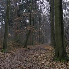 Bosweg (Photographer Simon) Tags: bosweg swalmen limburg eiken bruinblad bladeren bomen groen winter nederland
