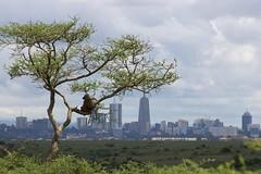 Baboon in the City (liam.ragan) Tags: animal wildlife nature creature alive life baboon coexistence humanwildlife nairobi kenya nairobinationalpark