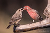 House Finch (Texas.lorarend:)) Tags: catch well done