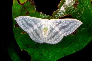 Drepanidae: Argodrepana denticulata