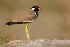 Red-wattled Lapwing | Vanellus indicus | टिटहरी (Paul B Jones) Tags: india redwattledlapwing vanellusindicus टिटहरी girnationalpark gujarat nature wildlife canoneos5dmarkiv ef800mmf56lisusm asia asian tourist tourism travel ecotourism indian indiya inde indien indië wader shorebird plover