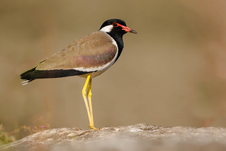 Red-wattled Lapwing | Vanellus indicus | टिटहरी