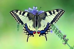 Summer Dream (sylviafurrer) Tags: schwalbenschwanz swallowtail schmetterling butterfly garden garten traum dream summer sommer papiliomachaon
