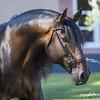 DISTINTO LAGOALVA - ÉTALON PSL - 2008 (HARAS DE LA GESSE) Tags: etalon lusitano lusitanien poulain pouliche horse cheval