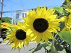 sunflowers (kenjet) Tags: pretty yellow flora blume blumen flower flowers spring bright colorful bloom blooming blooms