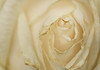 Beauty Has Its Flaws (SJS Photog) Tags: camera colors flowers ilce6000 lens lightroom macro nature sel50f18 sony white a6000 closeup flower mirrorless petals rose sonyalpha 50mm yellow creamy fragile delicate dying blemished