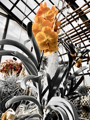 """""""I think the only answer is to live life to the fullest while you can and collect memories like fools collect money. Because in the end, that's all you have - happy memories."""" ―Sarah Strohmeyer 🌼 (anokarina) Tags: adobephotoshopexpress colorsplash appleiphone8 golden yellow orange chicago illinois il windycity midnorthdistrict lincolnparkconservatory flowers blossoms blooms"""