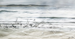 flutter . . . (YvonneRaulston) Tags: australia nsw cronulla sydney beach waves water ocean sea sand birds seagulls seabirds fly flap atmospheric art abstract bokeh creativeartphotography calm dream day emotive icm impressionist moody moments morning colour photoshopartistry peaceful surreal soft