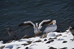 Pelicans & Great Blue Herons_9405 (Porch Dog) Tags: 2018 garywhittington kentucky nikond750 nikkor200500mm january winter outandabout bird avian wildlife nature pelicans greatblueherons tennesseeriver