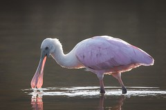 Light Bill (gseloff) Tags: roseatespoonbill bird feeding backlight water pink nature wildlife animal bayou horsepenbayou pasadena texas kayak gseloff