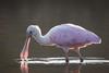 Light Bill (gseloff) Tags: roseatespoonbill bird feeding backlight water pink nature wildlife animal bayou horsepenbayou pasadena texas kayak gseloff