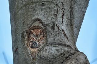 Chroniques d'Angrignon | Shannon et sa proie au trou no 5 | Petit-duc maculé mâle de forme rousse | Parc Angrignon | Arrondissement Sud-Ouest | Montréal