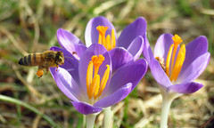 Pollinator Party (BlueRidgeKitties) Tags: canonpowershotsx40hs crocustommasinianus snowcrocus iridaceae honeybee insect pollinator