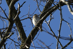 Blue sky (carlo612001) Tags: birds bird tree sky blue cute lovely littleone one free freedom beauty bluesky