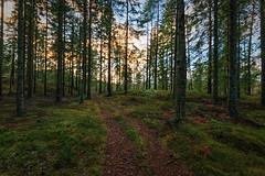 Forest Path (Khanghoang2003) Tags: 2017 canonef1635f4lisusm canoneos6d färgelanda kullberg landskap mossa natur skog stig träd vinter lillesäter västragötalandslän sverige se