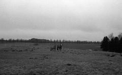 Wild horses (Rosenthal Photography) Tags: dezember landschaft ilforddelta3200 haustiere bnw asa3200 schwarzweiss zeven olympusom2 pferde kleinbildformat ff135 nordwestring städte tiere bw rodinal125 winter analog 20171203 dörfer siedlungen landscape nature mood december mist fog fields trees blackandwhite 35mm olympus om2 fzuiko zuiko autos 50mm f18 ilford delta delta3200 rodinal 125 epson v800 horses