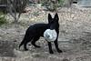 DSC_0290 (Charlotte Hoberg) Tags: german shepherd belgian malinois mondioring ipo schutzhund dog dogs cute training black fawn while rottweiler pit bull boxer lab labrador