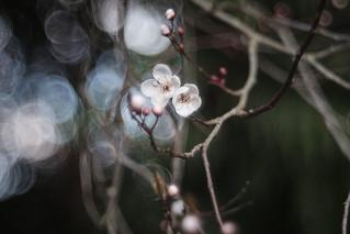 Wild Cherry blossom (Prunus avium)