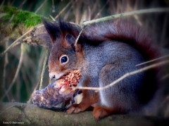 This lovely squirrel I met yesterday! (Toini O Halvorsen) Tags: squirrel nature wood