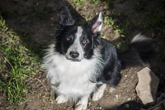 OJOS! (Luisa G.C.) Tags: bordercollie border collie perro dog puppy cute bonito suave sigma 70300mm teleobjetivo macro