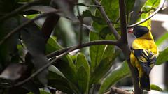 DSC_1816.jpg (naser7363) Tags: blackheadedoriole birds