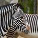 Grévy's Zebra (Parc Zoologique de Paris)