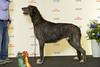 BIR Irländsk Varghund GRP 10: Cormacs Tariq (Svenska Mässan) Tags: best race mydog hundmässa bir
