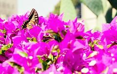 """Don't Be Afraid"" -Matthew 17:7 (Therese Trinko) Tags: butterfly flower nature spring holyland mounttabor transfiguration bible catholic macro closeup"